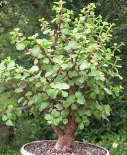 PORTUCALARIA AFFRA  Green  rare elephant bush mini jade tree bonsai 2