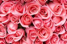 Fototapete-PINK ROSE FLOWERS-(381P)-350x260cm-7 Bahnen 50x260cm-Rosen Blumen XXL