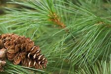 Fresh cut White Pine Branches , Wreath Making Party's or Weddings decorations!