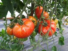 New listing Organic Heirloom Solar Flare Tomato *5 Day Sale* 20 Fresh Seeds Juicy Fresh 2017