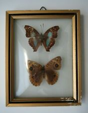 Vintage Mounted Two Butterfly Display Convex Glass Gold Framed Brazil