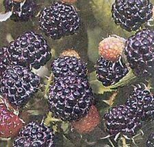 großfrüchtige, dornenlose Brombeere Black Satin, süße Kletterpflanze 60-100 cm