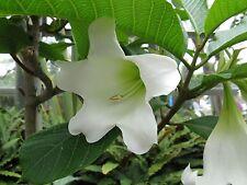 Beaumontia Grandiflora - Easter Lily Vine - Rare Plant Seeds (10)