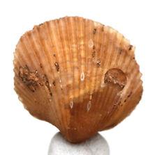 Chalcedony Sea Shell Cockle Fossil Bivalve Specimen Fossilized MOROCCO Agate