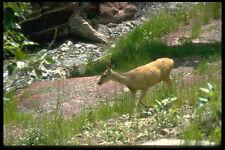 344020 Mule Deer Waterton Lakes Alberta A4 Photo Print