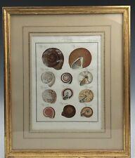 Fine Gold Leaf Framed Antique German 18c Hand Colored Sea Shell Print 125 NR KPB