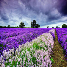 Lots 400pcs Lavender English Seeds Organic, Untreated Herb Seeds Garden Decor