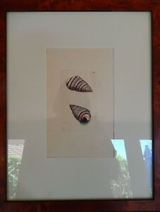 Copperplate Print Folio PAPAL VOLUTE Shells Naturalist's Miscellany by G. Shaw