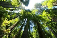 Coast Redwood (Sequoia Sempervirens) approx 30 seeds