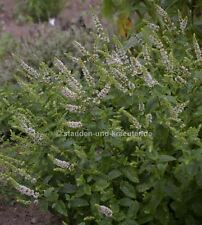 Duftpflanze gelbes Blatt mit weißer Blüte Goldoregano