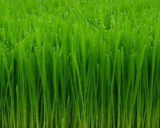 1/2 Pound Wheatgrass Seeds, Catgrass, Catnip Wheat Grass Cat Dog, Pasto De Trigo