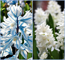 50 Puschkinia Blue and White Russian Snowdrop Mixed Bulbs Flowering Size