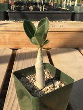 Adenium arabicum Desert Rose Caudex Cactus Succulent G21