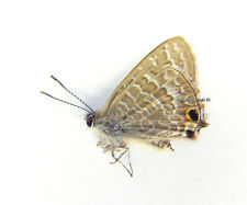 Unmounted Butterfly/Lycaenidae - Theclinesthes miskini ssp., male, Australia