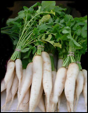 200+ DAIKON RADISH SEEDS Heirloom Non-GMO Organic U.S Grown  LITTLE SEED STORE