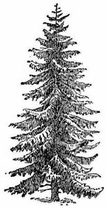 Christmas - Tree - Evergreen -  Fir #2 Unmounted Clear Stamp Approx 32x60mm