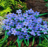 Blue Beautiful Rain Lily Bulb Magic Lily Zephyr Lily Fairy Lily Bonsai Home Yard