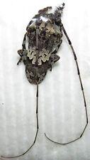 E CERAMBYCIDAE Lasiopezus sp ' nigromaculatus ? ' FROM TANZANIA