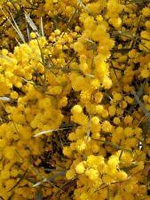 20 Samen Akazie saligna mimose Marina Orange Flechtwerk Blau blätterte