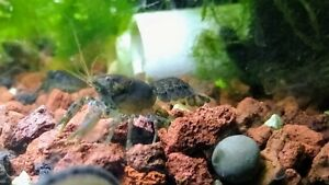 2 BREEDING PAIRS 4 total Brazos Dwarf Crayfish Lobster Cambarellus texanus  nano