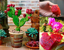 """SEEDS – VERY RARE Super Dwarf """"Low Prickly Pear"""" Cactus (Opuntia humifusa)"""