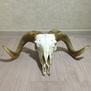 Real Ram Skull Taxidermy Oddities Wall Art  Animal Collectables Witchcraft Altar