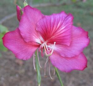 Graines / Seeds Bauhinia purpurea / Arbre Orchidée (10)