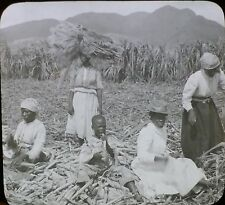 Preparing Sugar Cane for Replanting, St. Kitts, BWI, Magic Lantern Glass Slide