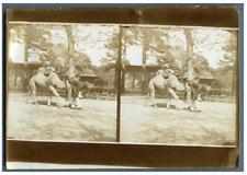Au zoo, à dos de chameau  Vintage citrate print Tirage citrate  12x18  Cir