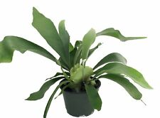 """Staghorn Fern Live Plant Exotic HousePlant 6.5""""Hanging Pot Indoor Best Gift New"""