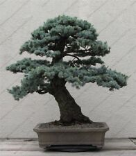 Cedrus Deodara Seeds Bonsai Conifer Trees Home & Garden Indoor Plants Decoration