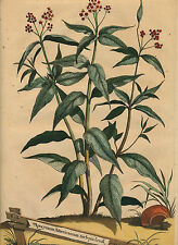 Abraham Munting 1711 Apocynum Americanum Asclepiadeum botanical HC engraving