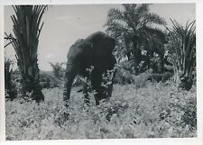 MOYEN CONGO c. 1940 -  Éléphant  - P 1301
