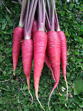 Carrot Purple Dragon (400 seeds) - Organic Heirloom from Life-Force Seeds