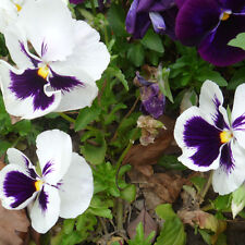 30 Pansy White Spot Seed Viola Tricolor Beautiful Garden Flowers