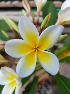 Frangipani Plumeria - Steckling bereits mit Blätter -  incanata white