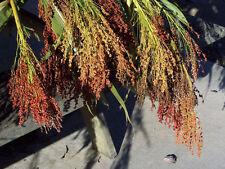 corn, BROOM CORN, mixed colors, 41 seeds! GroCo