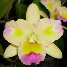 Orchids Laelia Cattleya Blc. Momilani Rainbow 'The Gypsy' Am/Aos-Bud & Sheath!