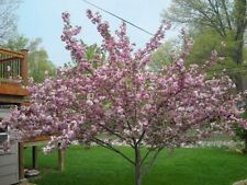 Cherry Tree Seeds - STELLA - Prunus Avium - Health Benefits - 10 Seeds