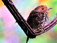 Cute Panama Bird - Poster Print - Enhanced Watercolor Art - FREE FAST SHIPPING