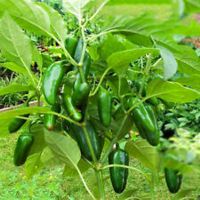 Jalapeno Chile Pepper Seeds Pepper Chili Vegetable Plant Chile Pepper Seeds Rare