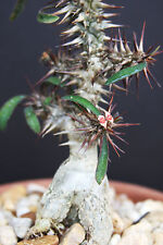 Euphorbia Rossii, exotic caudex bonsai madagascar rare collectors seed 5 seeds