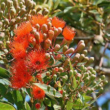 Corymbia ficifolia Red Flowering Gum native plant in 75mm pot was Eucalyptus