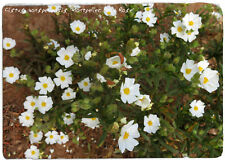 "Cistus Monspeliensis 'MONTPELIER Rock Rose"" 100+ SEEDS"