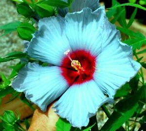 🌺🌺 MADAGASCAR HIBISCUS MOSCHEUTOS Hibiscus STARTER PLANT Rose Of Sharon HS6817