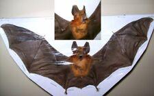 rhinolophus lepidus refulgens Complete dried bat Taxidermy REAL