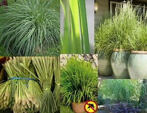 100+ Lemon Grass Seeds Heirloom NON-GMO Mosquito Insect Repellent Fresh Seeds