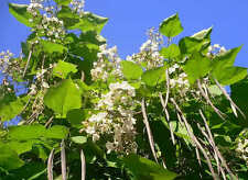 Southern Catalpa Tree - Catalpa Bignonioides - 25 fresh seeds - catawba worm