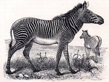 Grevy'S Zebra 1894 Equus grevyi - Mammal Victorian Engraving