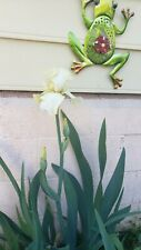 New listing Tall Bearded Iris, Pale Yellow Seedling, Unnamed